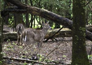 Deer042017001