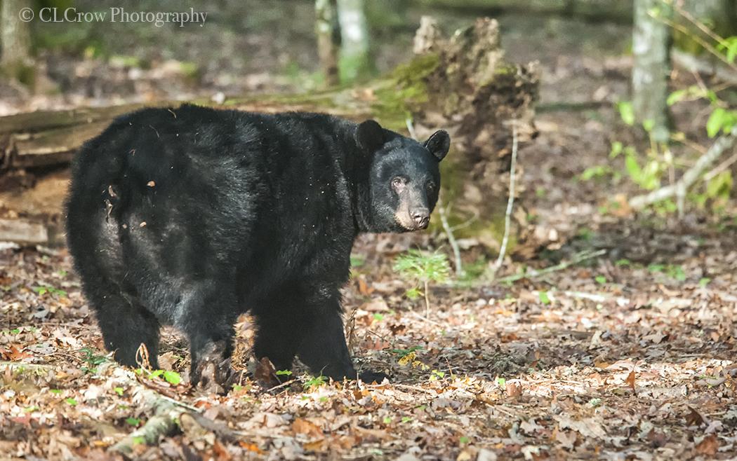 Bear102017012